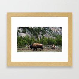 Bison Roaming Framed Art Print