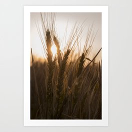 Wheat Holding the Sunset Art Print