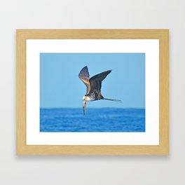 Great Frigate Bird Framed Art Print