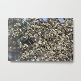 Pear Tree Blooming Metal Print
