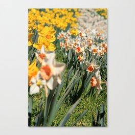 Sea of Daffodils Canvas Print