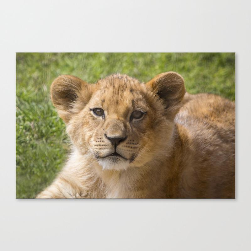 Baby Lion Cub Canvas Print by Amjackphoto CNV8842365