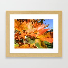 Maple in Sunlight Framed Art Print