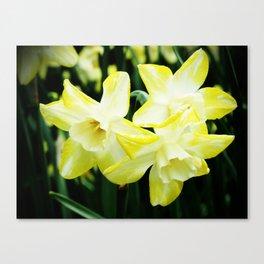 Daffodil family Canvas Print