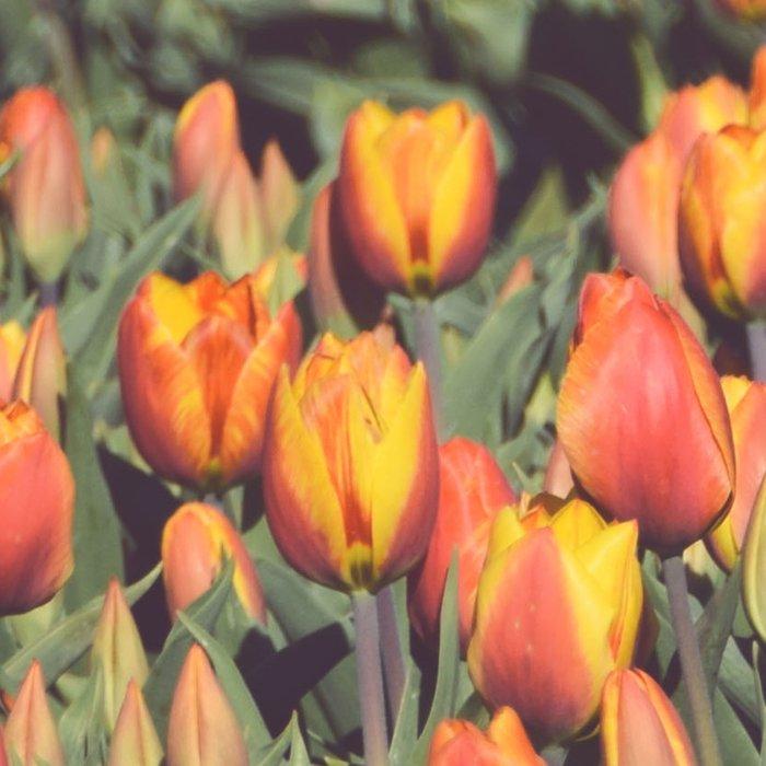 Tulips field #1 Leggings