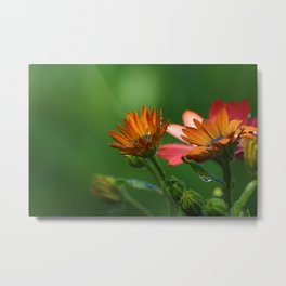 Multi-colour Osteospermum Metal Print