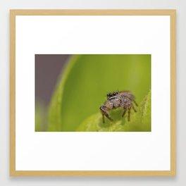 A Curious litttle Jumping Spider (Salticidae) hunts in the garden Framed Art Print