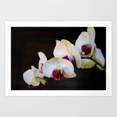 Orchid Blanche 3 Art Print