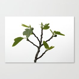 Fig tree 6752 Canvas Print