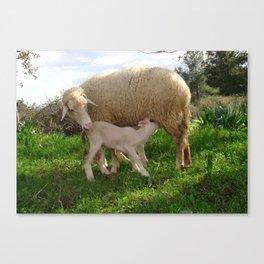 Lamb Suckling From An Ewe Canvas Print