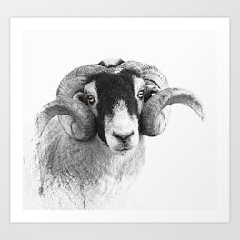 Black and which moorland sheep Art Print