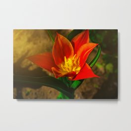 Red flower in the morning sun Metal Print