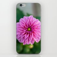 dahlia iPhone & iPod Skins featuring Dahlia by Katie Kirkland