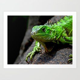 The Lizard King of Aruba Art Print