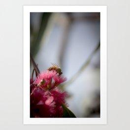 Bee on Red Wattle Tree Art Print