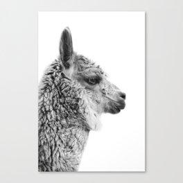 Llama Drama | Alpaca Animal Photography Canvas Print