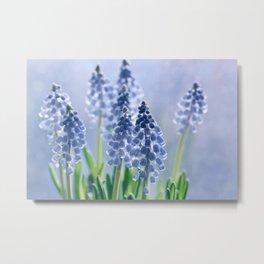 Grape hyacinths muscari 278 Metal Print