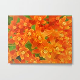 Butterfly Weed Flower Metal Print