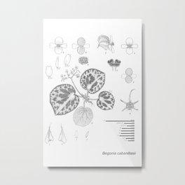 Begonia cabanillasii by Yu Pin Ang Metal Print