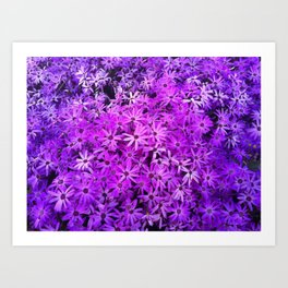 A field of Purple and Pink Daisies Art Print