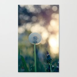 Dandelion blossom defocused seed head Canvas Print