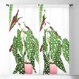 Polka Dot Begonia Potted Plant in White Blackout Curtain