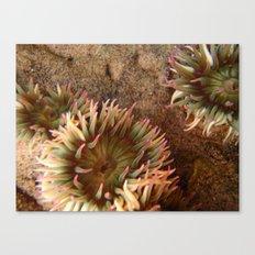 Anemone  Canvas Print