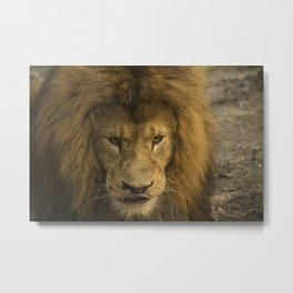 Lion - Time To Eat Metal Print
