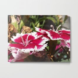 Red and White Dianthus Metal Print