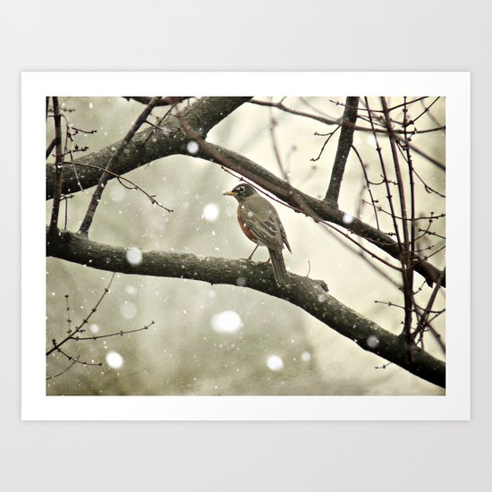 American Robin (Turdus migratorius) in Winter Art Print