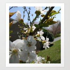 Apple Blossums Art Print