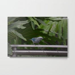 National Aviary - Pittsburgh - Blue Grey Tanager Metal Print