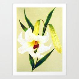 Vintage Lily Print Art Print