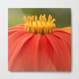 Mexican Sunflower Metal Print