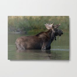 Moose On The Lake Metal Print