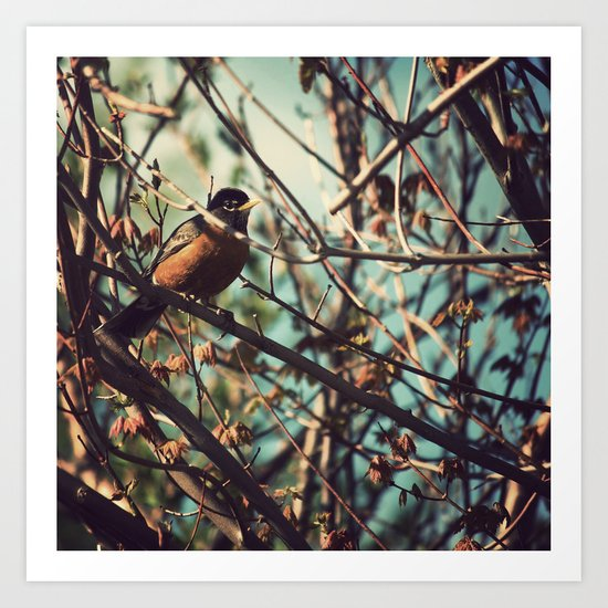 North American Robin Art Print