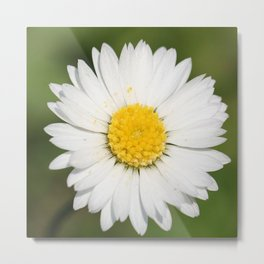 Closeup of a Beautiful Yellow and White Daisy flower Metal Print