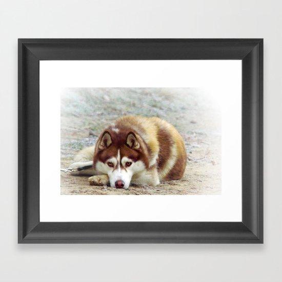Siberian Husky  Framed Art Print