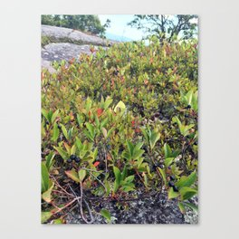 Wild Maine Blueberries on Pleasant Mountain (2) Canvas Print