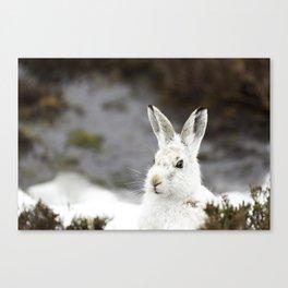 white mountain hare Canvas Print