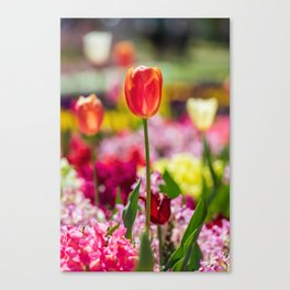 Close up of a peach tulip lit by the sun Canvas Print
