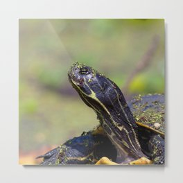 Watercolor Turtle, Eastern Painted Turtle 25, Merchants Millpond, North Carolina Metal Print