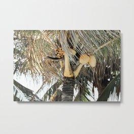 Yellow coconuts Metal Print