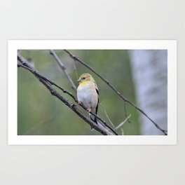 yellow finch Art Print