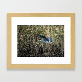 grey heron in flight ( Japan ) Framed Art Print