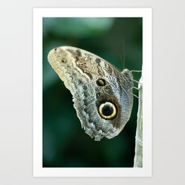 Blue Morpho or Moth? Art Print