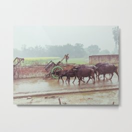 Buffalos Marching in Rural Uttar Pradesh, India Metal Print