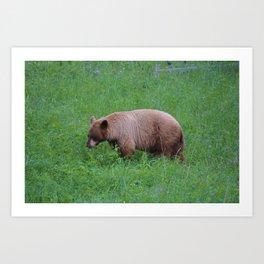 Cinnamon bear in Jasper National Park | Canada Art Print