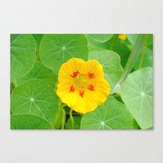 Yellow Nasturtium Canvas Print
