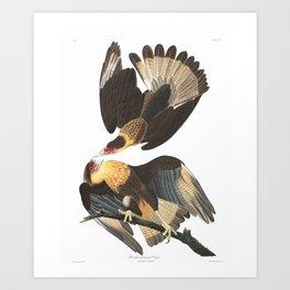 Brasilian Caracara Eagle by John Audubon Art Print